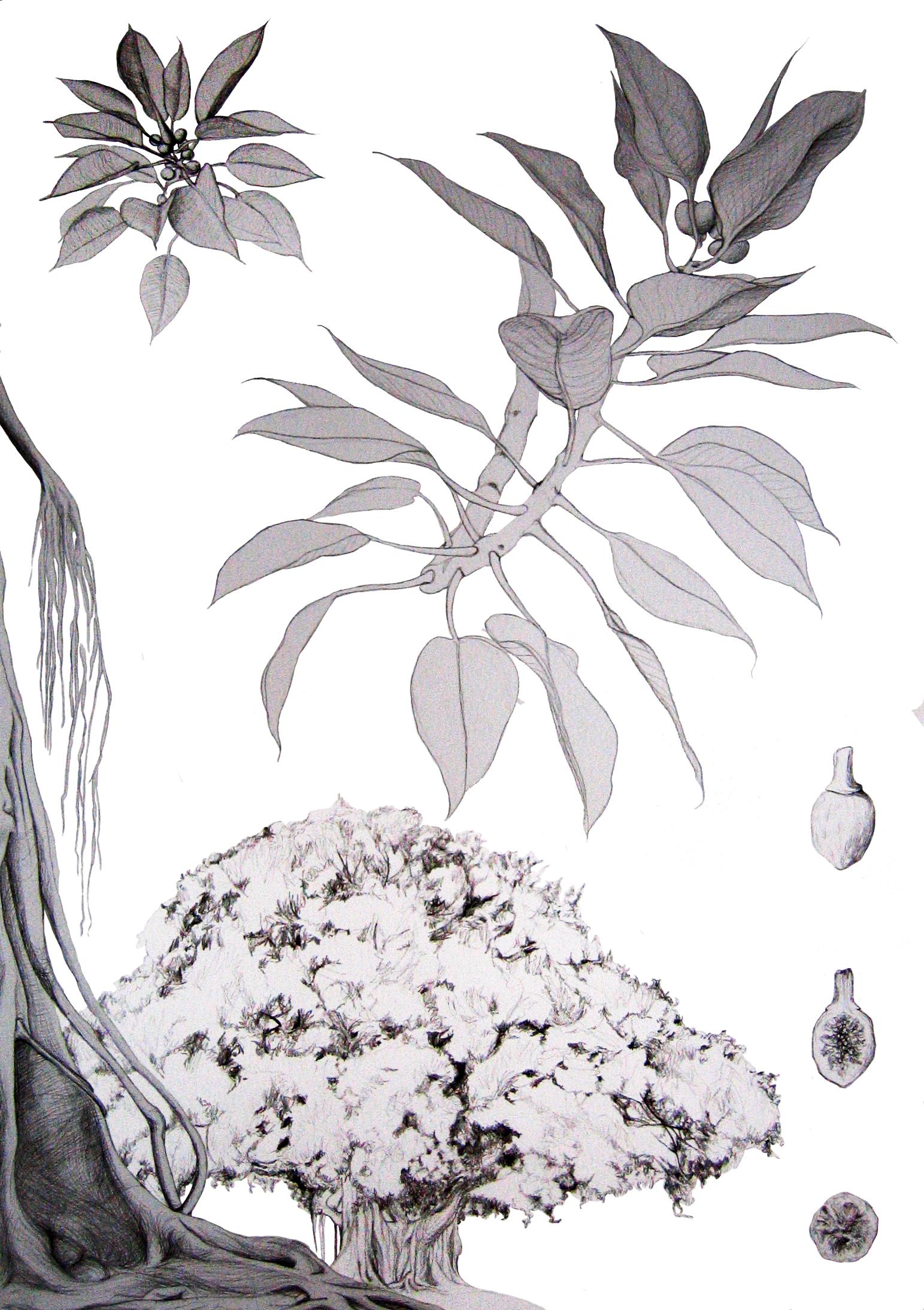 Ficus-Macrophyla