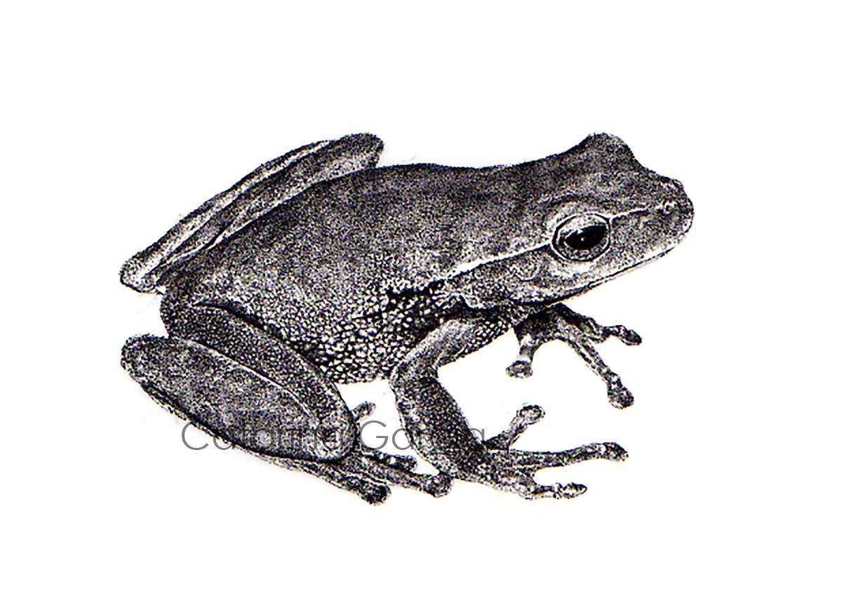ilustraçao-cientifica-ilustracion-scientific-illustration-stippling